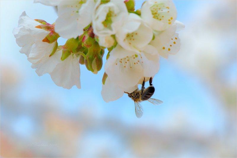 весна, пчела, цветы Притяжениеphoto preview