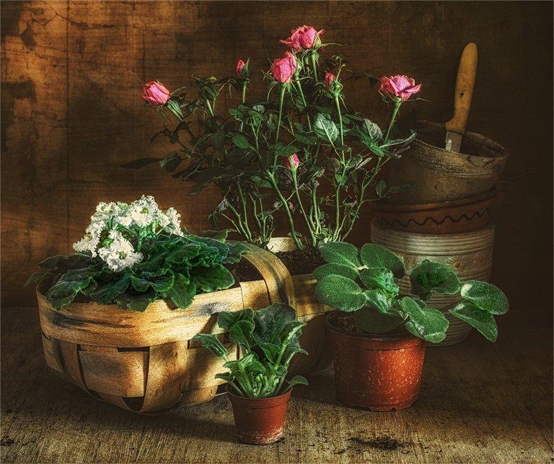 still life, натюрморт,    винтаж,  цветы, рассада, розы, фиалки, весенние заботыphoto preview