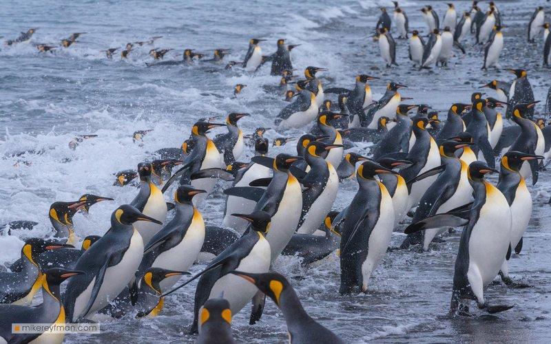южная джорджия, south georgia, antarctica, king penguin, penguin, salisbury plain, south atlantic Живая волнаphoto preview