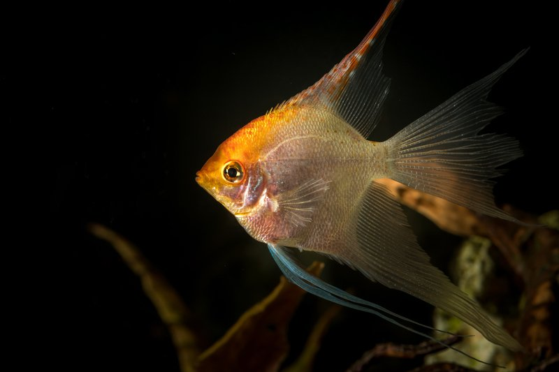 fish, aquarium, angel fish, animals, nature, home, decore Angle fishphoto preview
