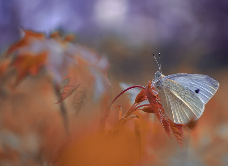 макро, насекомые, бабочка, белянка Беляночкаphoto preview