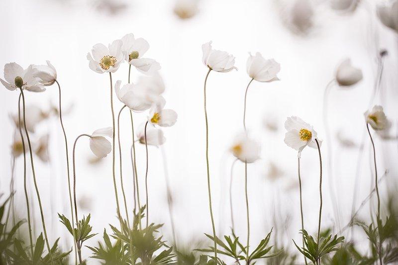 ветреница, цветок, небо, молоко, весна, май, воронеж, дивногорье, позитив, Небо молоко...photo preview