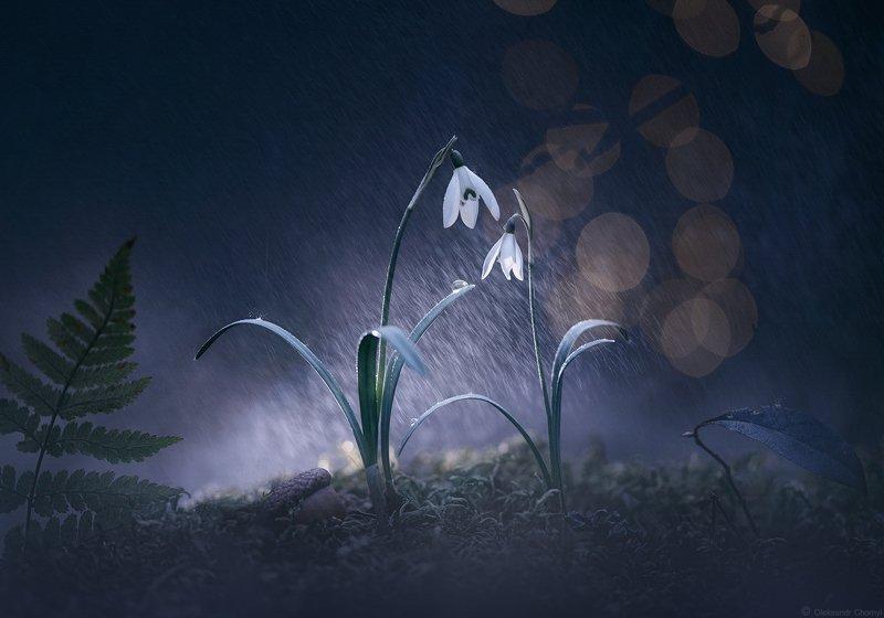 украина, коростышев, природа, весна, лес, март, дождь, подснежники, цветы, макро, макро мир, макро красота, макро истории, тишина, гармония, любовь, жизнь, счастье, двое, он и она, волшебство, сказка, мечта, синий, фон, капли, брызги, фотограф, чорный \
