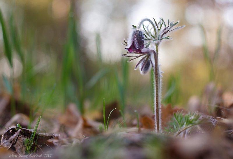 сон-трава, прострел, весна, апрель, цветок, украина Сон-траваphoto preview
