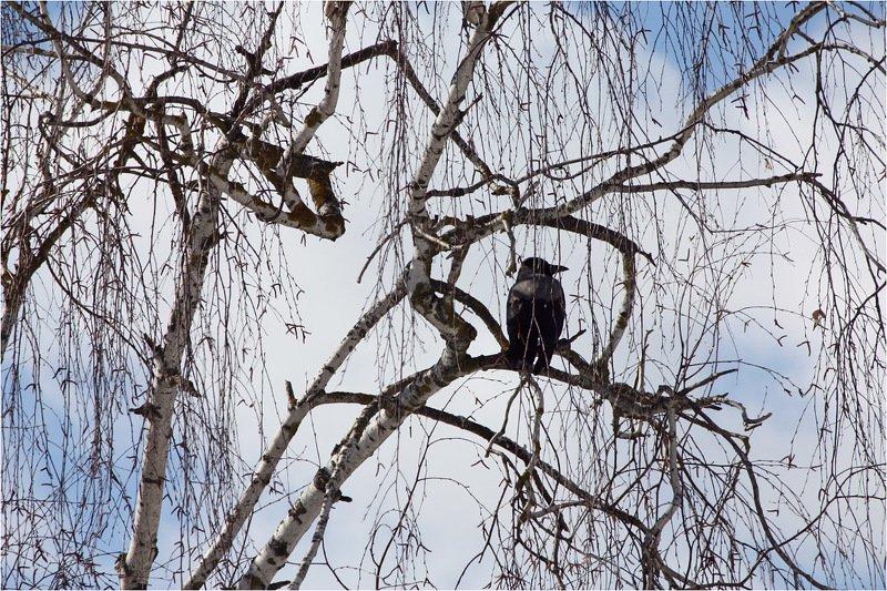 серая, ворона Графика ранней весны.photo preview