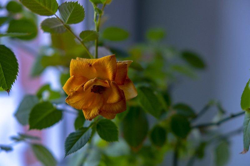 Домашняя роза на окне.photo preview