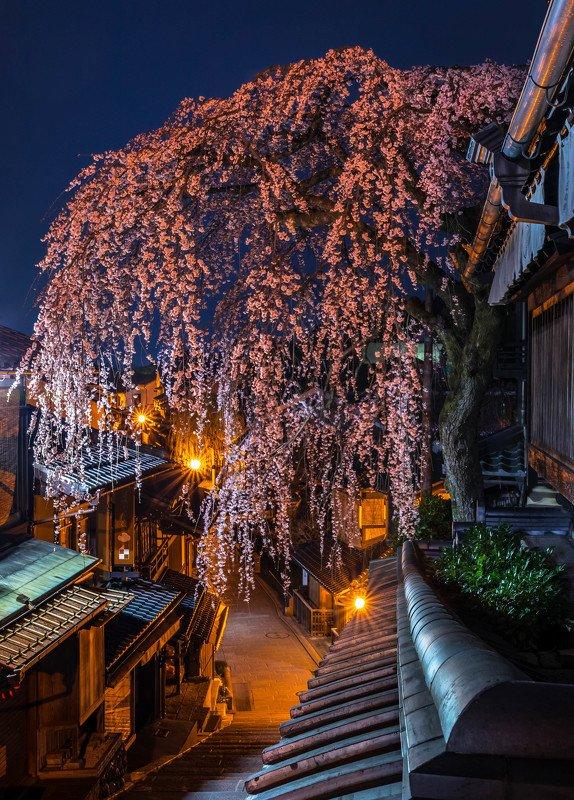 cherry blossom night sakura kyoto japan lights nightscape long exposure Cherry blossom night in Kyoto.photo preview