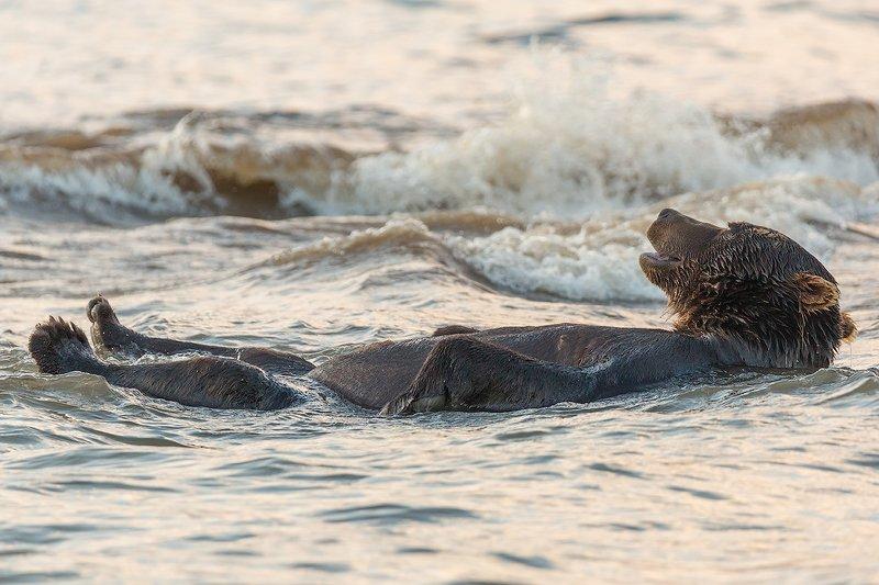 камчатка, медведь, животные, природа, путешествие, фототур, озеро Качаясь на волнахphoto preview
