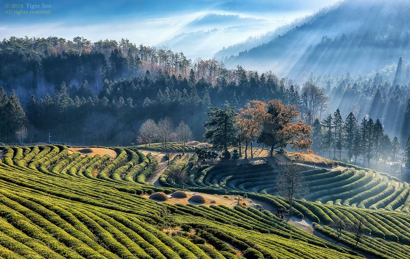 green tea farm farmland green-tea lay sunbeam light Green tea farmlandphoto preview