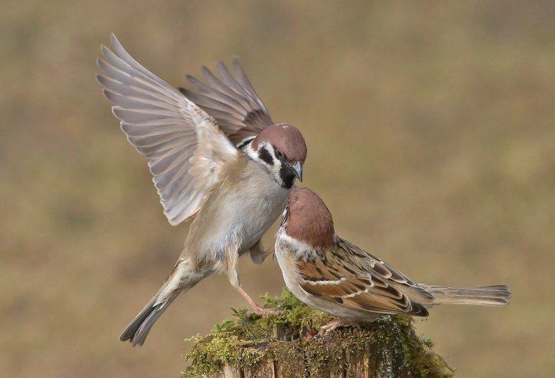 природа , птицы , полевые воробьи , весна \