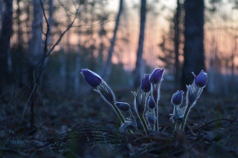 сон-трава, после заката, тишина, сумерки, лес, весна В холодной тишинеphoto preview