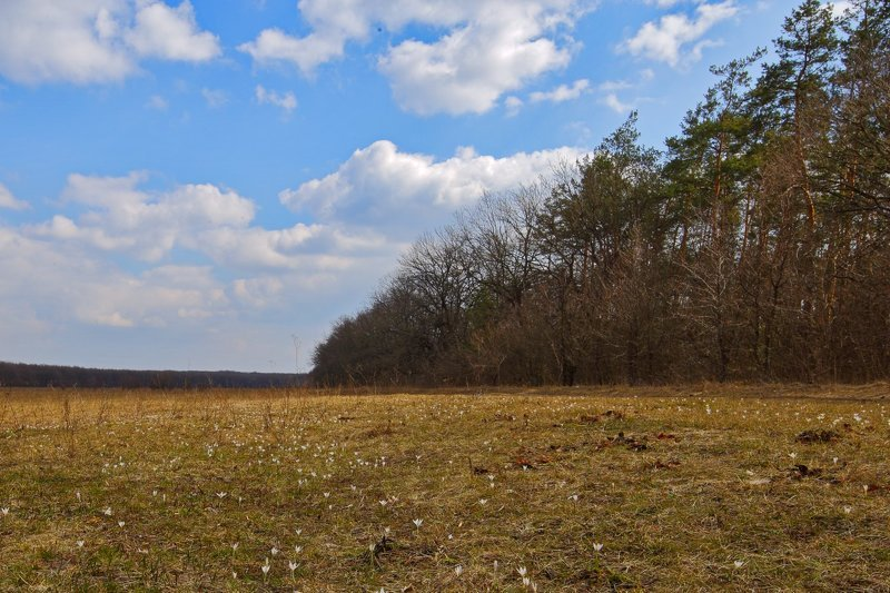 шафран,сетчатый,крокус,полосатый,crocus,reticulatus,самарский лес Первенцы весныphoto preview
