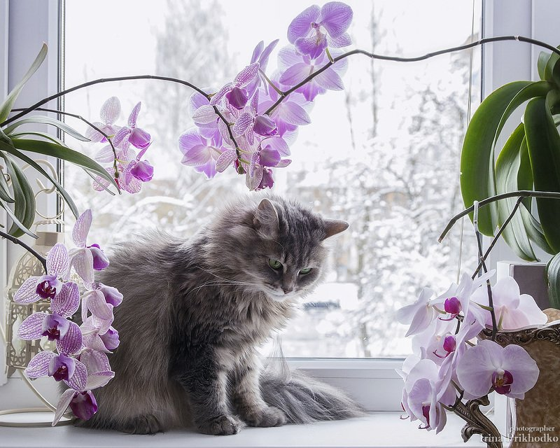 домашние животные, кошка Масяня, подоконник, орхидеи Опять зима за окном!photo preview