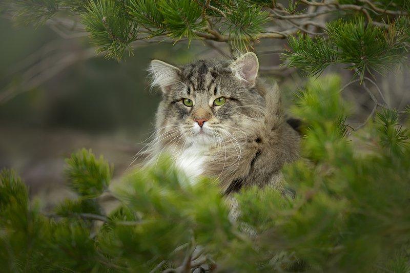 Норвежский лесной котphoto preview