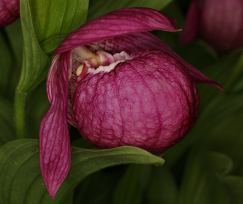 цветок орхидея Cypripedium macranthos Cypripedium macranthosphoto preview