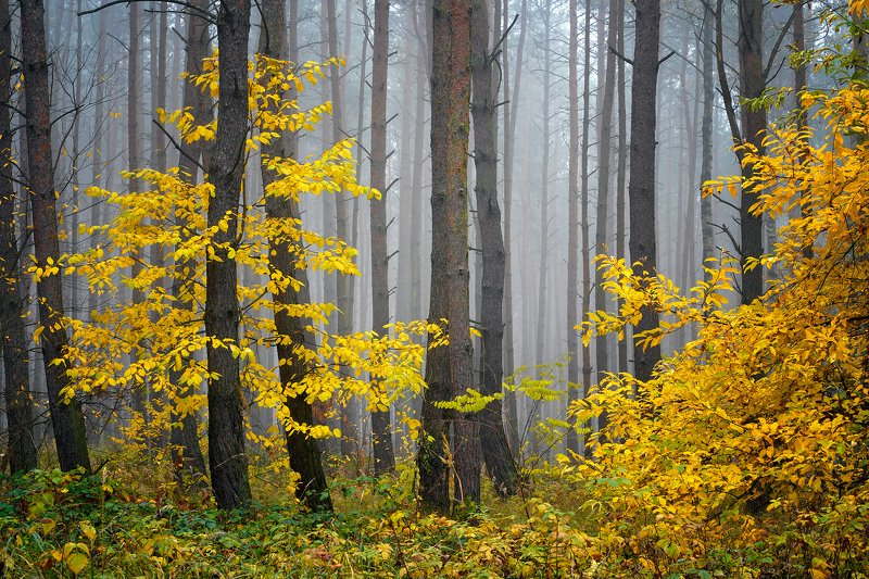 yellow, forest, trees, foggy, morning, autumn, fall, tree, dranikowski, mist, las Yellow Forestphoto preview