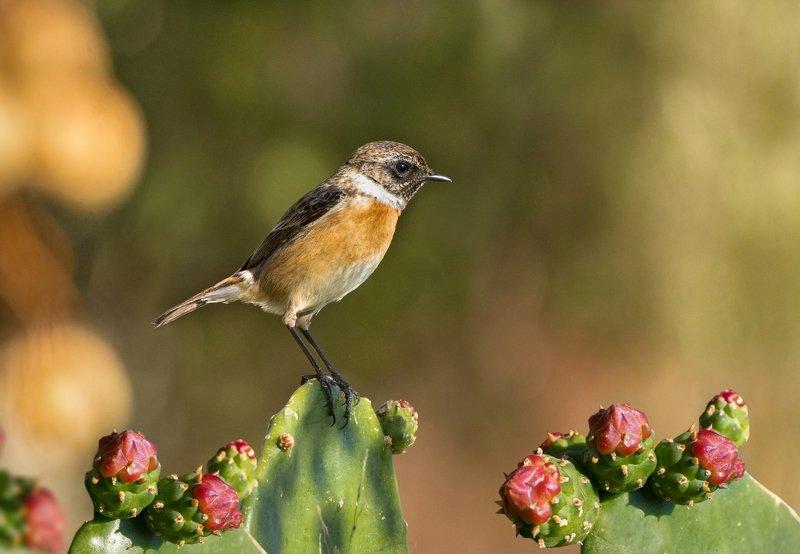 кактус, чекан, птичка, февраль, утро На цветущем кактусеphoto preview