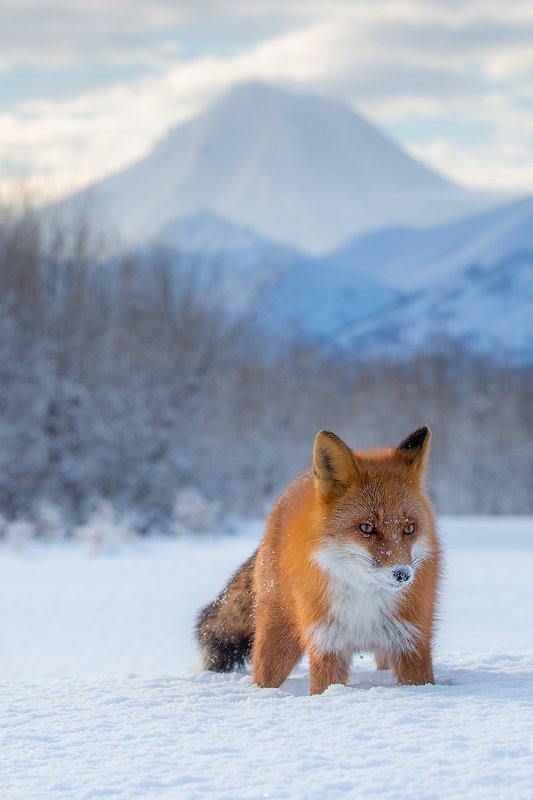камчатка, лиса, животные, природа, путешествие, фототур, зима Вулкан и Лисphoto preview