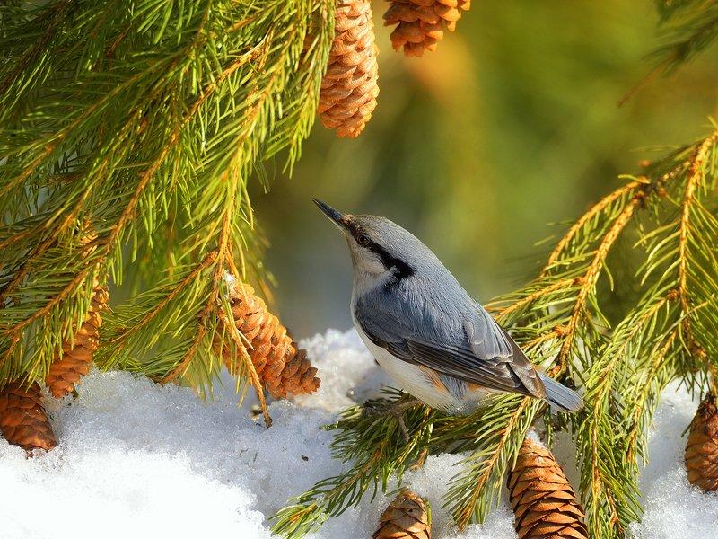 природа, фотоохота, поползень, ель,птицы, животные,дерево,снег, зима Зарисовка из зимнего лесаphoto preview