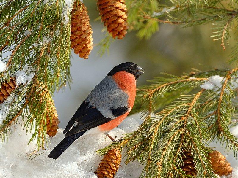 природа, фотоохота, снегирь, ель,птицы, животные,дерево,снег, зима Зарисовка из зимнего леса 2photo preview