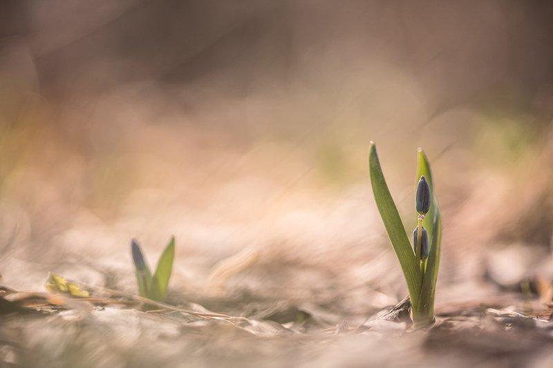 пролески, первоцветы, свет, цвет,март, весна, позитив, геннадий мещеряков, воронеж, Весной разбужены пролески...photo preview