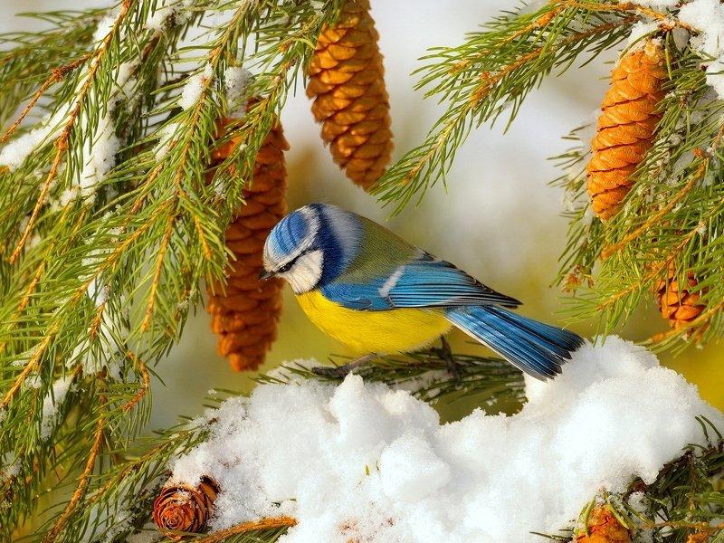 природа, фотоохота, лазоревка обыкновенная, ель,птицы, животные,дерево,снег, зима Зарисовка из зимнего леса 3photo preview
