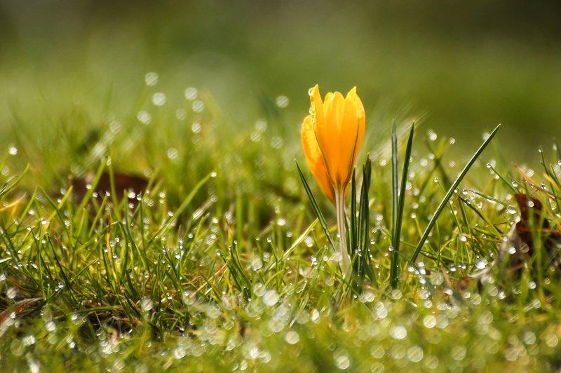 весна, цветы, крокусы, капли Первые крокусыphoto preview