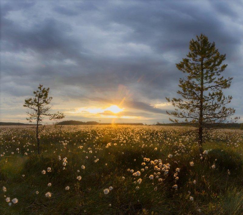 болото, кайф, рассвет ,север ,солнце, свет, вологодская Рассвет в пушицеphoto preview