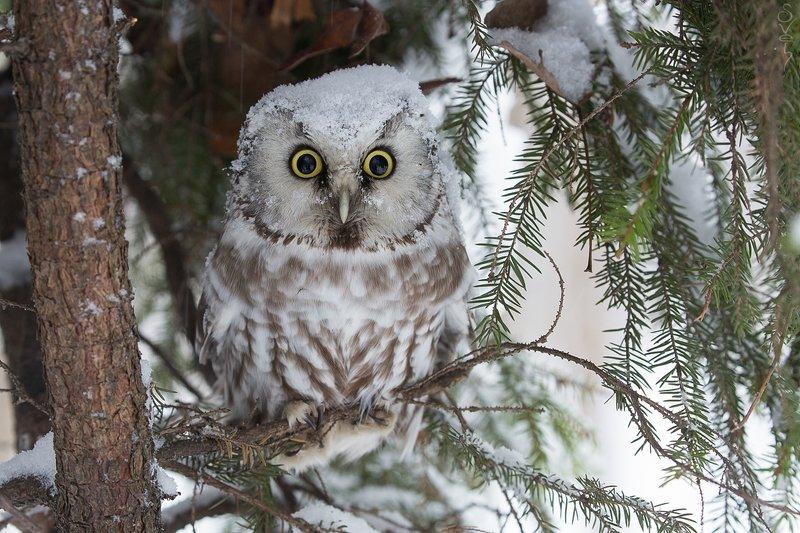 мохноногий сыч, сыч, сова, зима воин в снежной каскеphoto preview