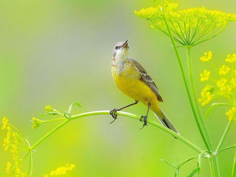 природа, фотоохота, желтая трясогузка, птицы, животные,цветы, лето Полевые зарисовкиphoto preview