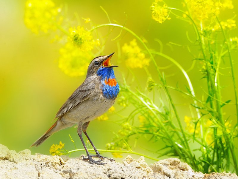 природа, фотоохота, варакушка, птицы, животные, цветы, лето Летние напевыphoto preview