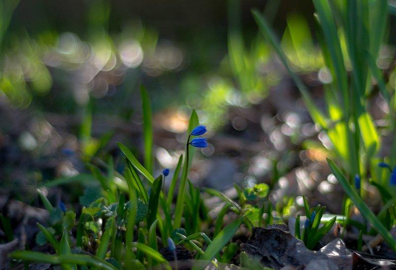 макро,цветы,природа,весна,синее,перелески,боке,свет,трава, ...А я маааленький такой...photo preview