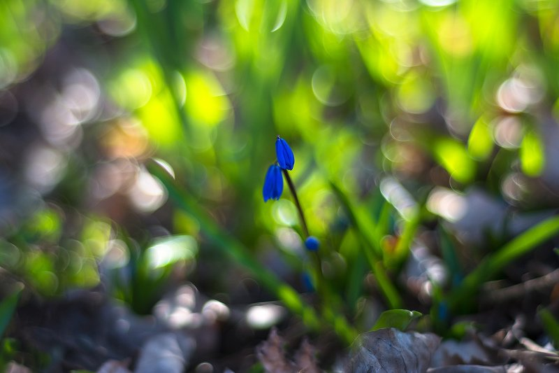 макро,цветы,боке,перелески,весна,свет,трава,природа,макро-красота,синий,зелёный, В центре внимания...photo preview