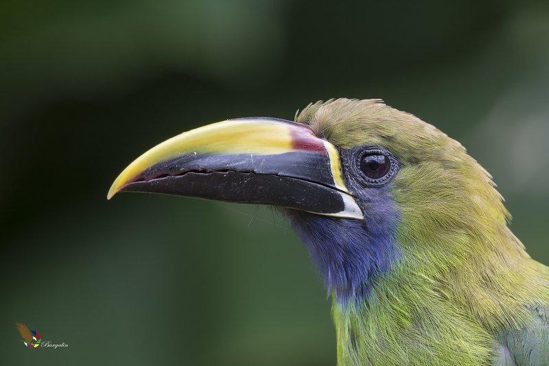 Northern Emerald-Toucanet (Aulacorhynchus prasinus) Tucancillo Verde (Curré, Curré Verde) Rphoto preview
