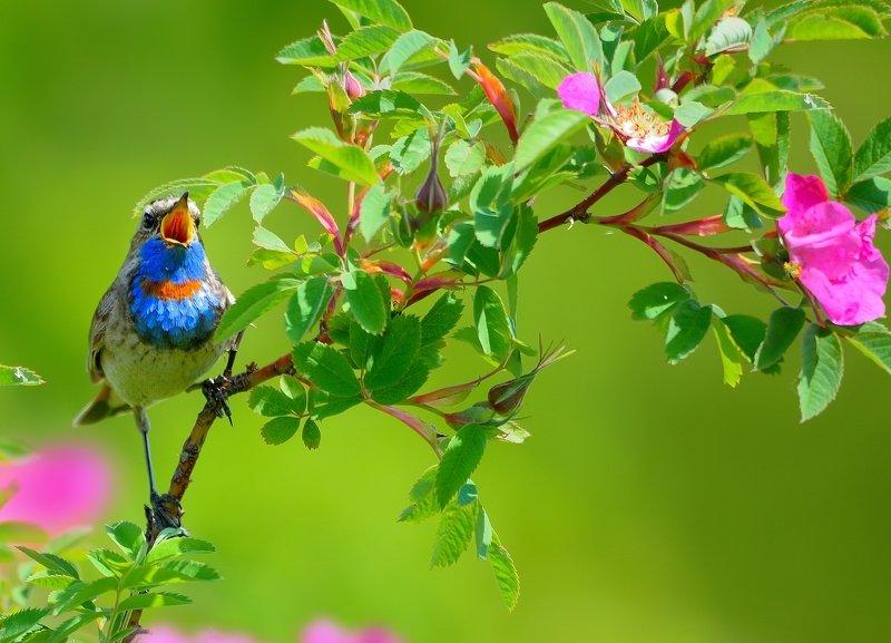 природа, фотоохота, варакушка, птицы, животные, цветы, лето Цветы и птицыphoto preview