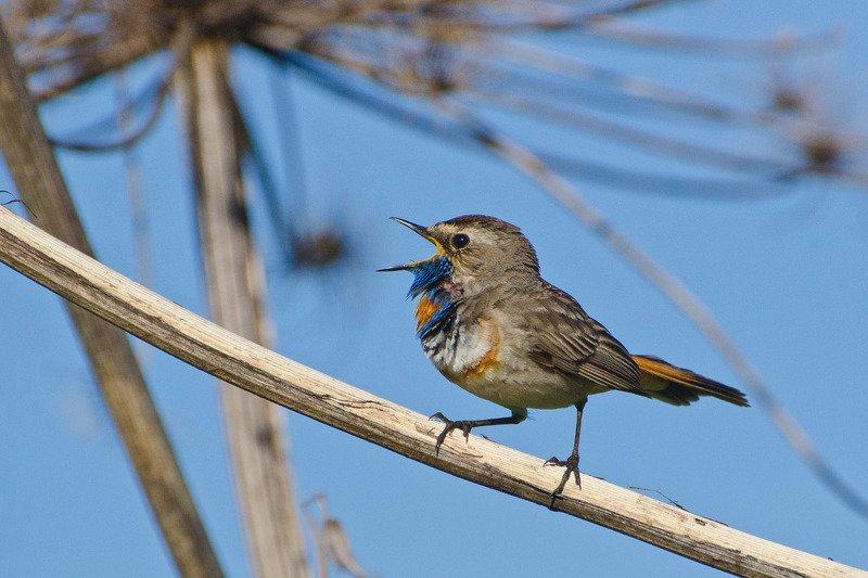 птица, варакушка, самец Не интересен мир без песен. Варакушкаphoto preview