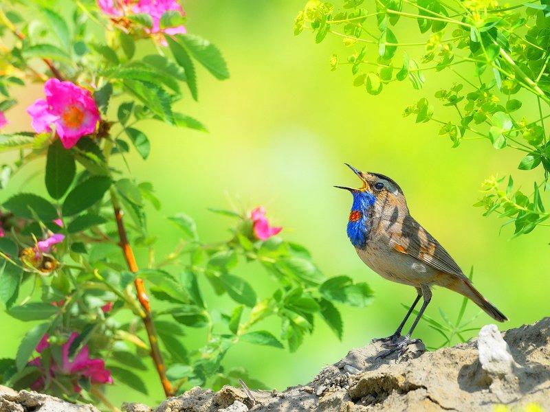 природа, фотоохота, варакушка, птицы, животные, цветы, лето Цветы и птицы 2photo preview