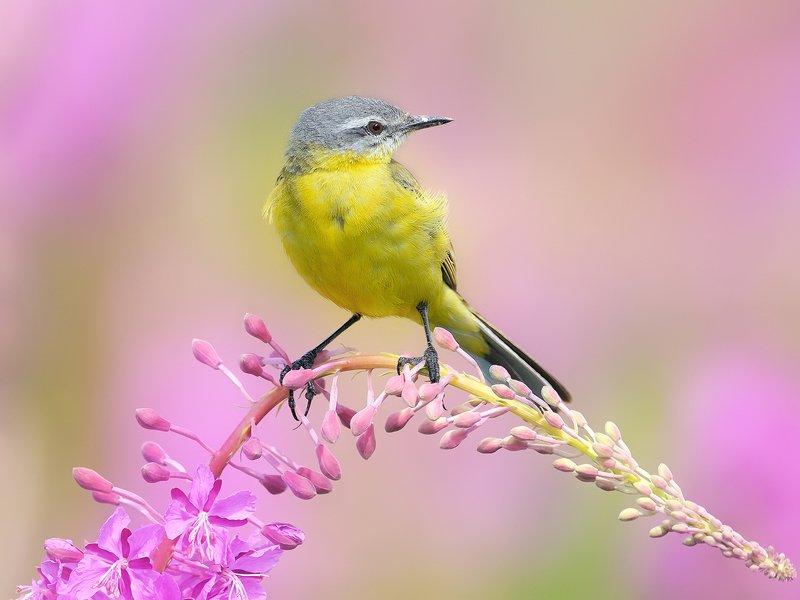 природа, фотоохота, желтая трясогузка, птицы, животные,цветы, лето Цветы и птицы 3photo preview
