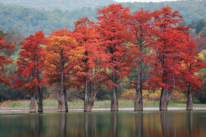 Осенние кипарисыphoto preview