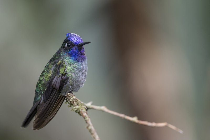 Violet-headed Hummingbirdphoto preview