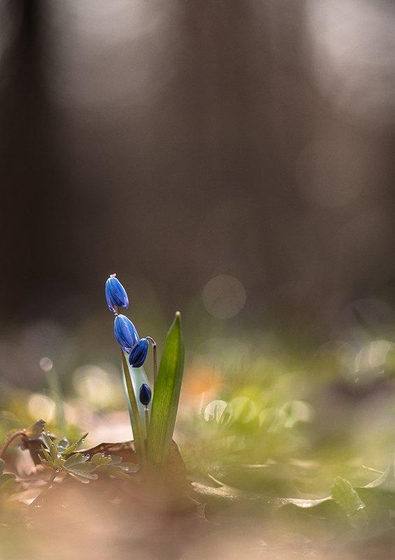пролеска, макро, первоцвет, цветок, апрель, весна, позитив, воронеж, В первоцветный день...photo preview
