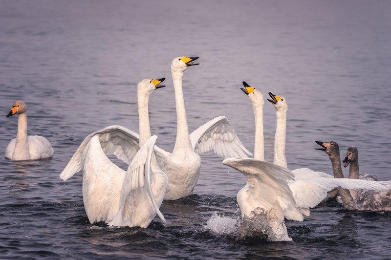 Лебеди, Озеро, Светлое Квартетphoto preview