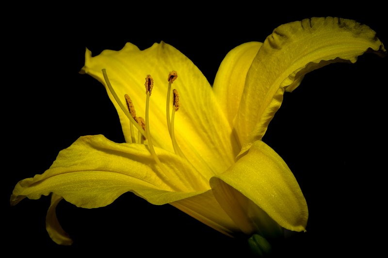 macro, Lily, black background, flowers, single Lilyphoto preview