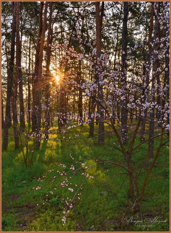 весна, март, утро, рассвет, лес, цветёт абрикос Про абрикосовое утроphoto preview