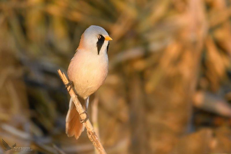 birds, nature, animals, wildlife, colors, spring, nikon, nikkor, lens, lubuskie, poland Wąsatka, Bearded Parrotbill (Panurus biarmicus) ...photo preview