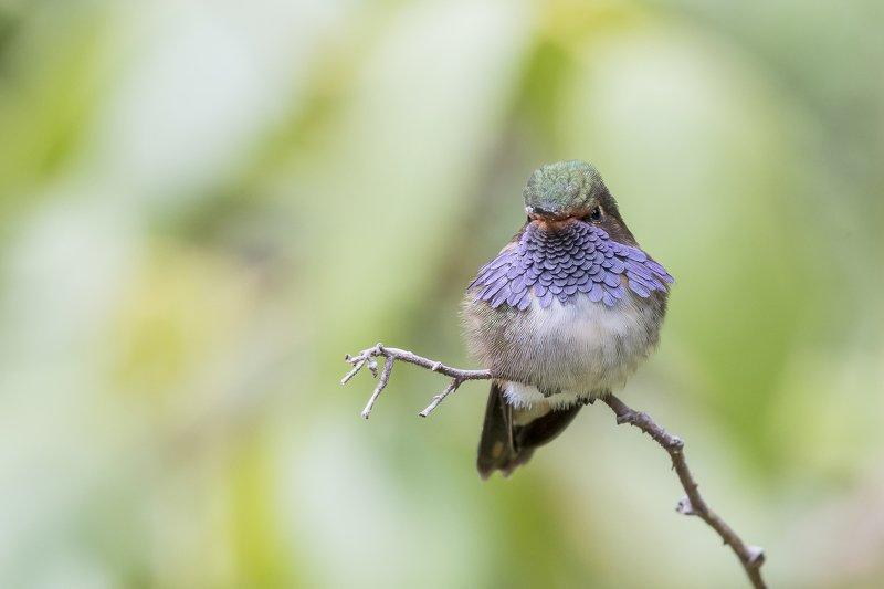 Volcano Hummingbird (Cordillera Talamanca)photo preview