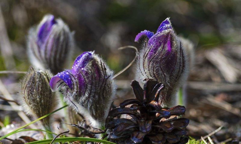 nevant60, пейзаж, красота, природа Апрельские первоцветы Брянского леса \
