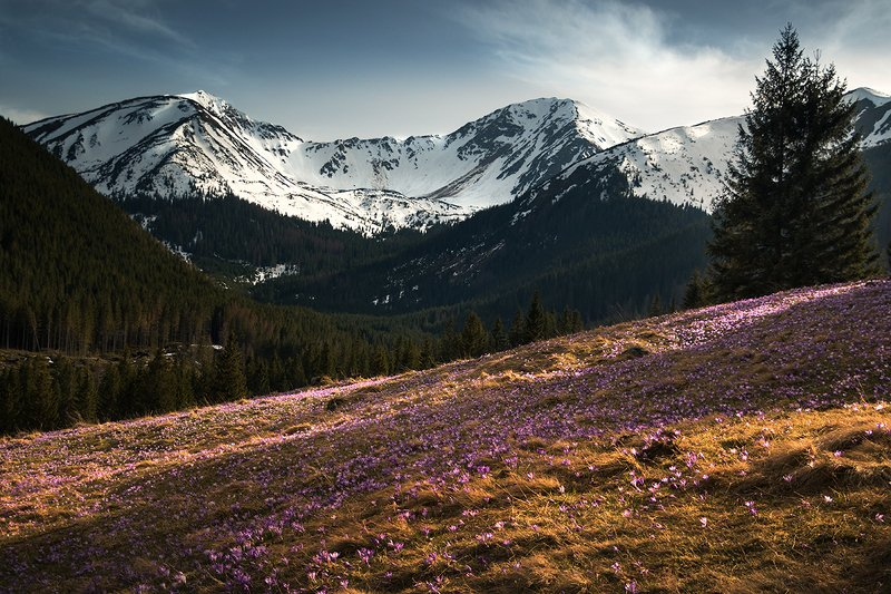 Crocus madness in the Tatrasphoto preview