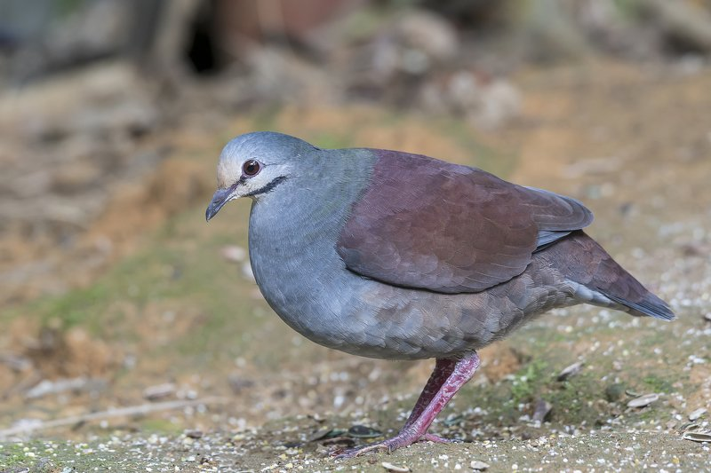 Buff-fronted Quail-Dove (Zentrygon costaricensis) Paloma-Perdiz Costarriqueña R-ENDphoto preview