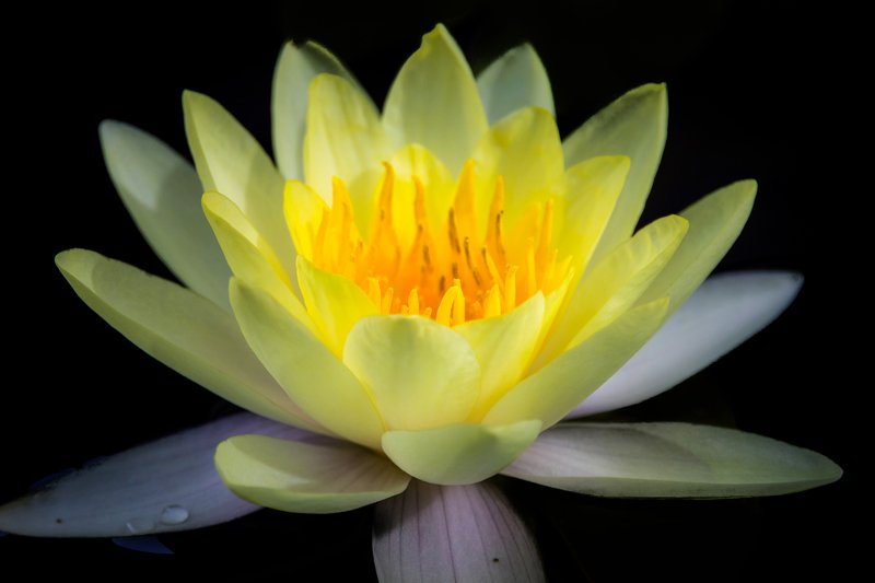 macro, Lotus, black background, flowers, single Lotusphoto preview